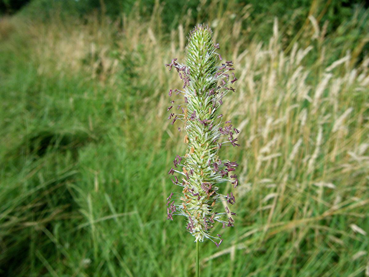Displaying 19> Images For - Timothy Grass Identification...