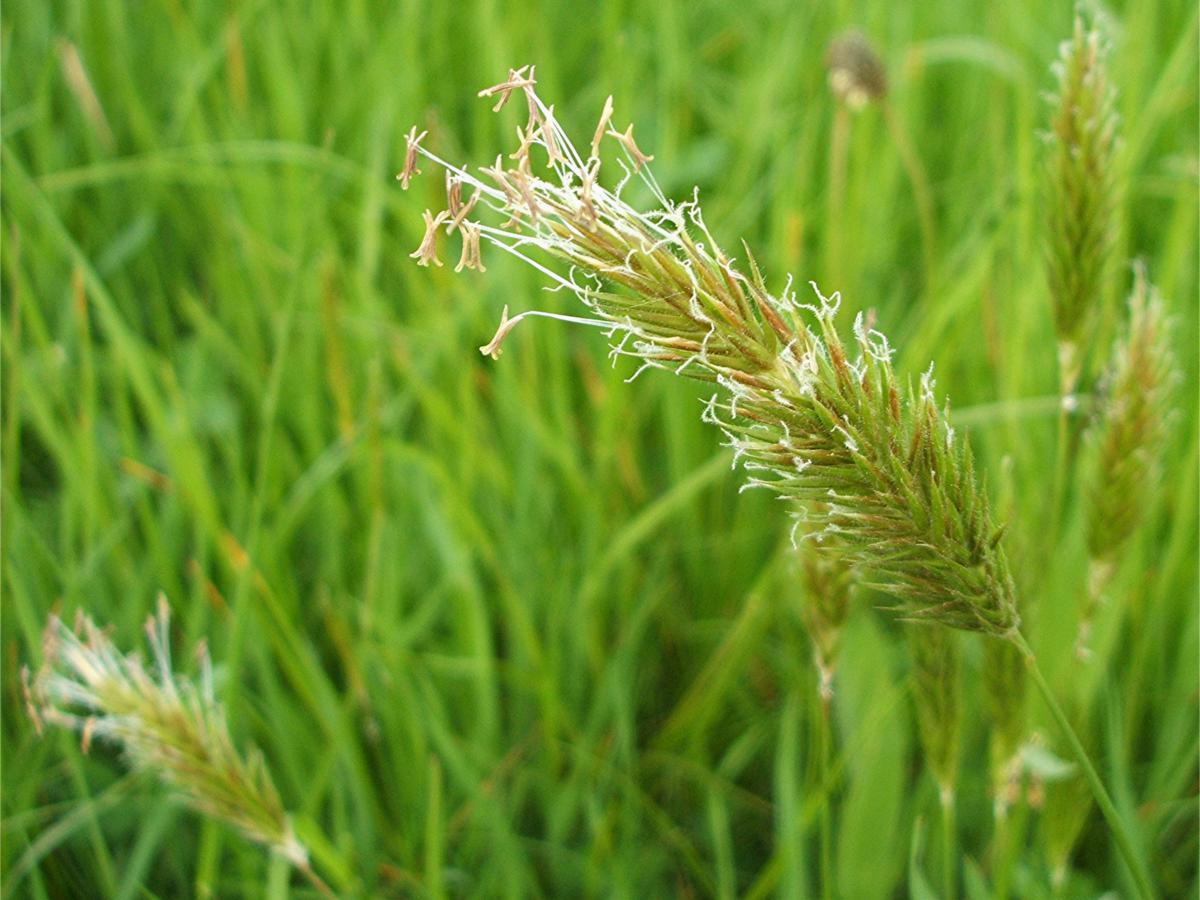 Sweet Vernal-grass - Anthoxanthum odoratum | NatureSpot