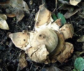 018) Geastrum triplex (Collared Earthstar) Granitethorpe Quarry SP 4951 9359 (taken 18.9.2008)