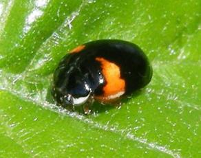 10 spot ladybird (Adalia decempunctata) (form bimaculata)  Site of 'The Limes' Sapcote SP 4809 9340 (taken 9.5.2010),