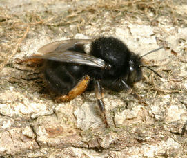 Hairy-footed Flower Bee  - Anthophora plumipes - David Nicholls - Ratby garden1 - 26 April 2008 - female