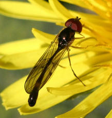 Baccha elongata - David Nicholls - Bardon Hill - 05 May 2006 - male