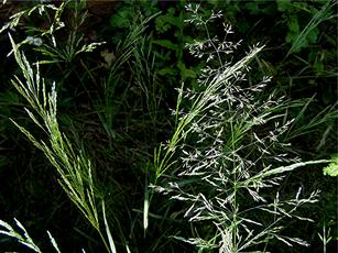 Bent, Black (Agrostis gigantea) Harecroft Crescent Sapcote SP 4903 9371 (taken 20th  July 2008).