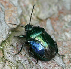 Blue Shieldbug - Zicrona caerulea - David Nicholls - Martinshaw Wood - 23 June 2007