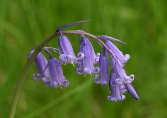 Bluebell_GrobyPool_10May08
