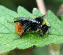 Bombus lapidarius - David Nicholls - Ratby garden1 - 09 July 2006 - male