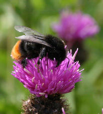 Bombus lapidarius - David Nicholls - Priory Water - 01 July 2005 - female