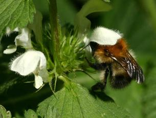 Common Carder Bumblebee  - Bombus pascuorum - David Nicholls - Martinshaw Wood - 05 May 2007