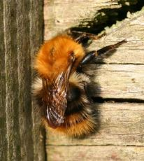 Common Carder Bumblebee  - Bombus pascuorum - David Nicholls - Wirlybones Wood, Ratby - 24 May 2008