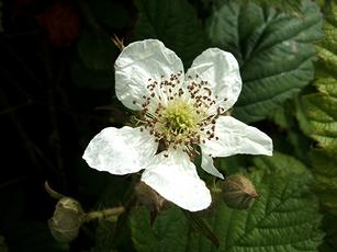 Bramble agg. - Rubus fruticosus agg. - Graham Calow - Sapcote - 05 June 2006 - in flower