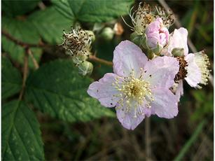 Rubus fruticosus agg. - Graham Calow - Fosse Meadows, Sharnford - 08 October 2007 - in flower
