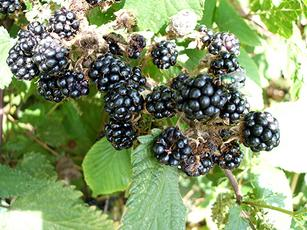 Rubus fruticosus agg. - Graham Calow - Sapcote - 16 August 2006 -  fruit