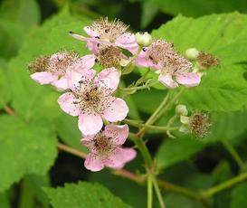 Rubus fruticosus agg. - David Nicholls - Rutland Water, Egleton NR - 25 June 2004