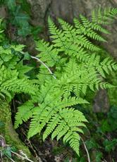 Broad Buckler-fern - Dryopteris dilatata - David Nicholls - Grace Dieu - 03 May 2008