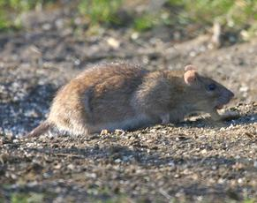 BrownRat1_Rutland_2Feb07
