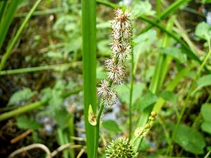 Bur-reed, Unbranched possibly (Sparganium (cf) emersum) Pond at Fields Farm (taken 21.7.2006)