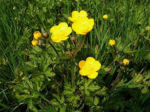 Buttercup, Creeping (Ranunculus repens) Field behind Ramsdale Farm Sapcote SP 4972 9239  (taken 10.5.2006).