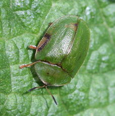Cassida viridis - David Nicholls - Fosse Meadows, Sharnford - 20 May 2010