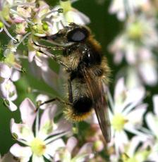 Cheilosia illustrata - David Nicholls - Martinshaw Wood - 14 June 2008