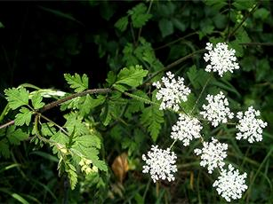 Chervil, Rough (Chaerophyllum temulum) By Leicester Road Quarry wall Sapcote SP 4970 9336 (taken 3.6.2007),