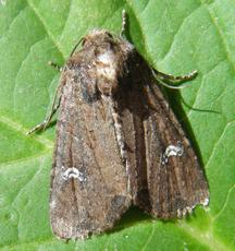 Common Rustic agg. - Mesapamea secalis agg. - Graham Calow - Sapcote garden1 - 08 July 2010