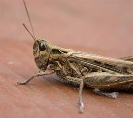 Common Field Grasshopper   - Chorthippus brunneus - John Cranfield - Fleckney garden1 - 11 September 2004