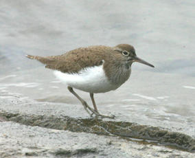CommonSandpiper1_Swithland_20Apr06