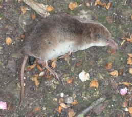 CommonShrew1_Rutland_5June09