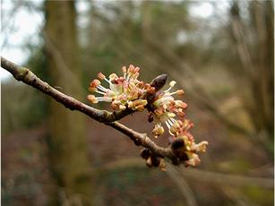 Ulmus glabra - Graham Calow - Granitethorpe Quarry, Sapcote - 13 March 2008 - Flowers