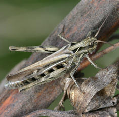 Common Field Grasshopper   - Chorthippus brunneus - David Nicholls - Charnwood Lodge NR - 02 October 2005