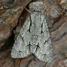 Acronicta psi - David Nicholls - Ratby garden1 - 03 September 2007 - Acronicta psi or Acronicta tridens
