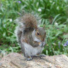GreySquirrel1_Burbage_29Apr10