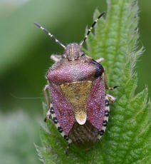 HairyShieldbug2_Ulverscroft_21May07