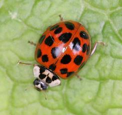HarlequinLadybird_WelfdRdCem_15May09