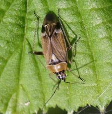 Harpocera thoracica - David Nicholls - Martinshaw Wood - 05 May 2007 - female