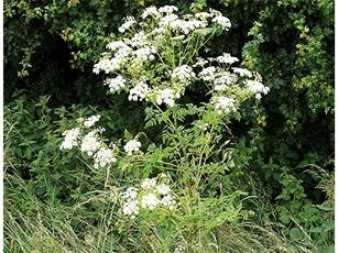 Hemlock (Conium maculatum) B4114 near Frowlesworth Turn Sapcote SP 4892 9218 (taken 23.6.2006)