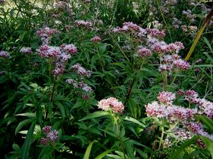 Eupatorium cannabinum - Graham Calow - Burbage Common - 31 August 2010