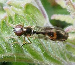 Baccha elongata - Graham Calow - Sapcote - 21 May 2009 - female
