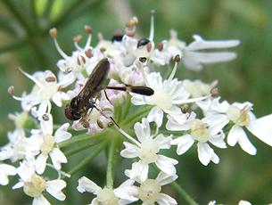 Baccha elongata - Graham Calow - Sapcote - 30 July 2009 - male