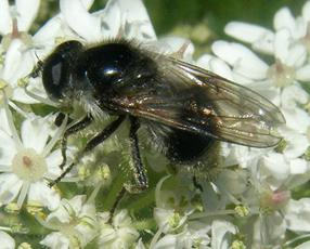 Cheilosia illustrata - Graham Calow - Sapcote - 01 June 2009 - female