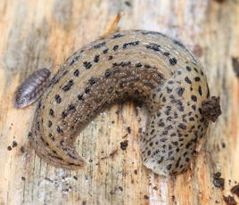 LeopardSlug_Martinshaw_9May09