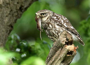 Little Owl Site No 92 - Gilmorton SP572877 12th june 2010 - Paul Riddle