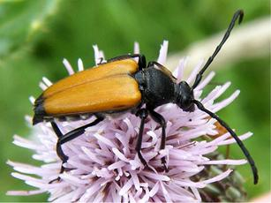 Longhorn Beetle (Paracorymbia fulva) B4114 junction with Leicester Road  Sapcote SP 5031 9307 (taken 24.7.2009)