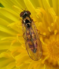Melanostoma scalare - David Nicholls - Nature Alive NR, Coalville - 10 September 2004 - female