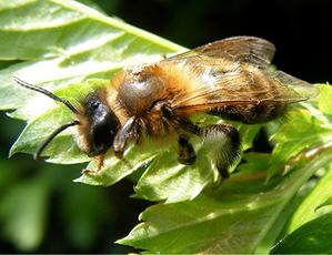 Andrena carantonica - Graham Calow - Sapcote - 23 April 2009