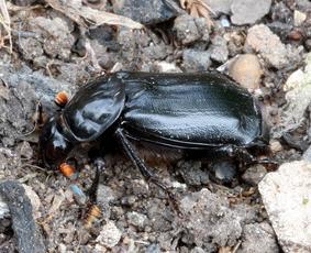 Black Sexton Beetle  - Nicrophorus humator - David Nicholls - Ratby garden1 - 01 May 2009