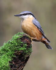 Nuthatch - Enderby SP5399 (15th November 2009) - Paul Riddle