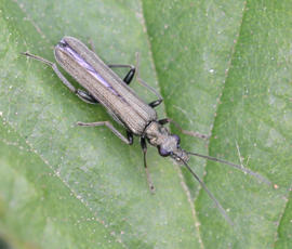 OedemeraLurida1_WirlybonesWood_24May08