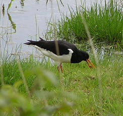 Oystercatcher1a Rutland 14May04