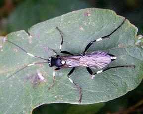 Parasitoid Wasp  (Achaius oratorius Fab. female)  Donkey Lane Sapcote SP 4858 9298 (taken 14.9.2009)